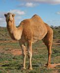 Camel фотография
